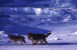 What should be done about the disappearing wolves of Isle Royale?