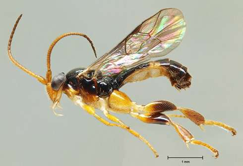 Whopping diversity of wasps identified in tropical America