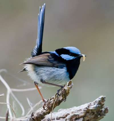 Why are so many fairy-wrens blue?
