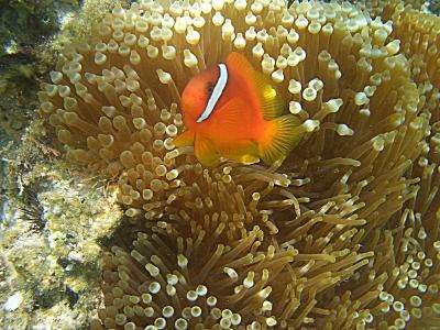 Why fish talk: Clownfish communication establishes status in social groups (w/ Video)