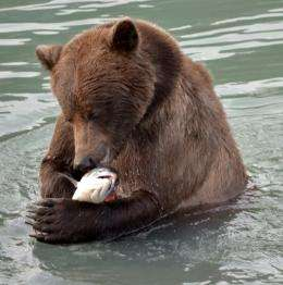 Why letting salmon escape could benefit bears and fishers