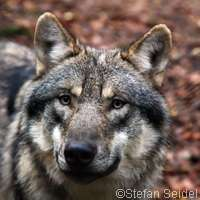 Wolves eating less than 1% of German livestock, study finds