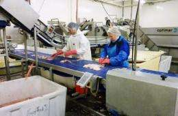 Workers gut east-Arctic cod, or Skrei, at the Marine Fresh fish fileting factory in Napp