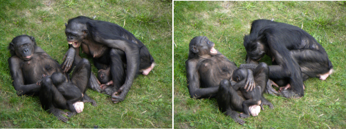 Why yawning is contagious in bonobos