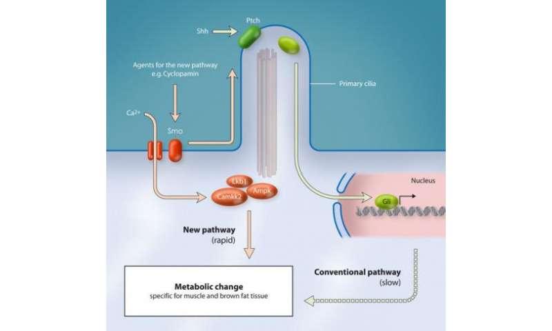 Cells control energy metabolism via hedgehog signalling pathway