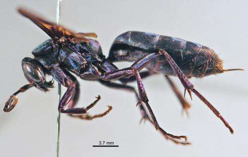 2 new beautiful wasp species of the rare genus Abernessia