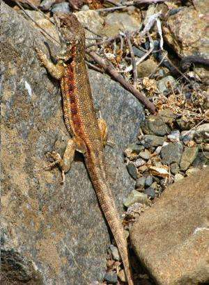 A beautiful species of tree iguana redescribed 179 years after its discovery