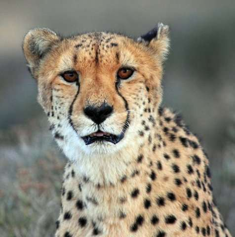 A cheetah pictured on March 22, 2013 at a private game reserve north of Cape Town