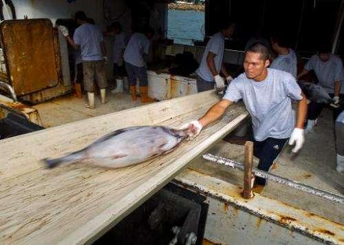 A Chinese fisherman offloads yellow-fin tuna in Avarua on Rarotonga island in August 2012