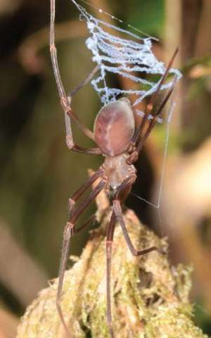 A day in the life of the mysterious odd-clawed spider Progradungula otwayensis