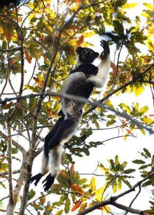 A male Indri Indri Lemur leaps among trees while in search of food, at a nature reserve in Andasibe, Madagascar, on September 17