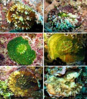 A new coral reef species from the Gambier Islands, French Polynesia
