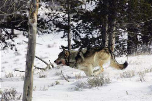 APNewsBreak: Plan lifts Lower 48 wolf protections