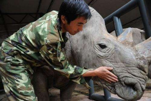 A staff member at Puer National Park with an African rhino in a new enclosure in southwest China's Yunnan province