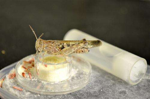 ASU researchers developing sustainable ways to manage locust outbreaks worldwide