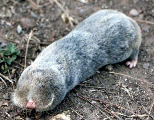 Blind mole-rats are resistant to chemically induced cancers
