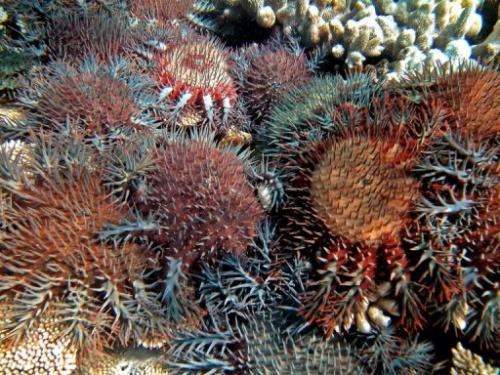 Coral-eating starfish on Australia's Great Barrier Reef