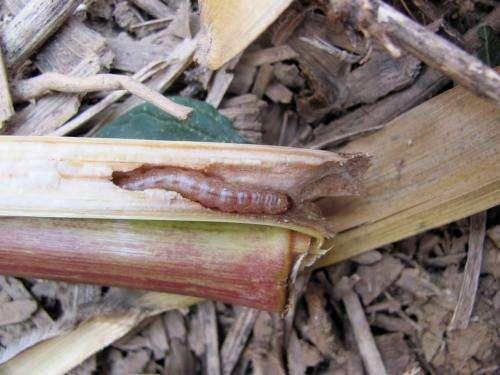 Corn pest decline may save farmers money