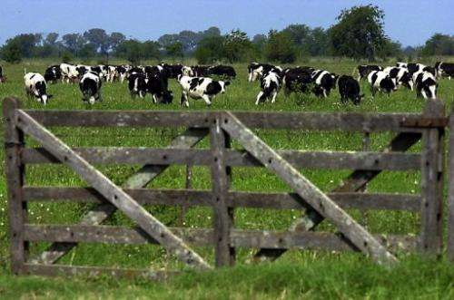Cows stand in a field on March 14, 2001, in a province of Buenos Aires, Argentina
