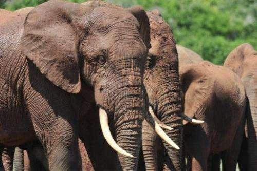 Elephants in the Addo Elephants Park near Port Elizabeth on February 9, 2013