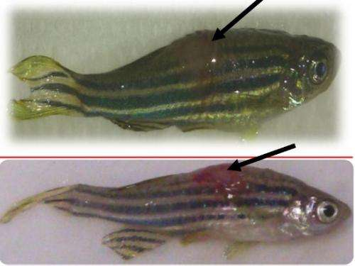Genetic divergence between the fish pathogens