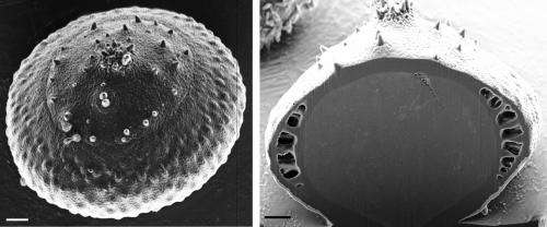 Global first as Witsies split pollen