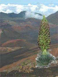 Global warming may have severe consequences for rare Haleakalā silverswords