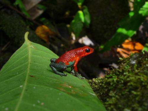 Green poison-dart frog varies mating call to suit situation