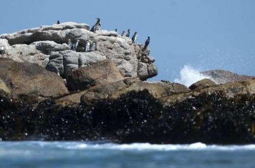 Humboldt penguins remain at the Pajaro Nino island, in Algarrobo seaside resort, west of Santiago, on March 6, 2013