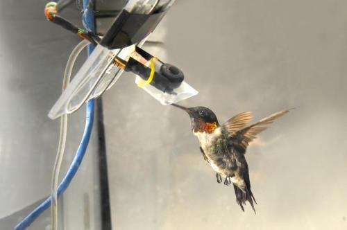 Hummingbird metabolism unique in burning glucose and fructose equally