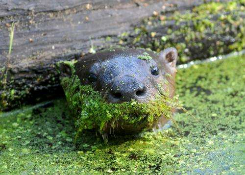 Illinois river otters exposed to chemicals banned decades ago