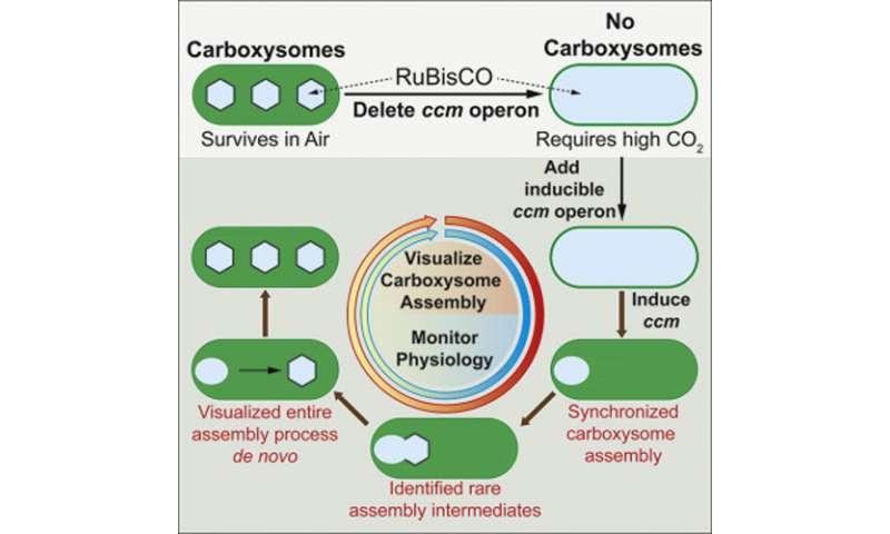 Inner workings of cyanobacteria caught on video