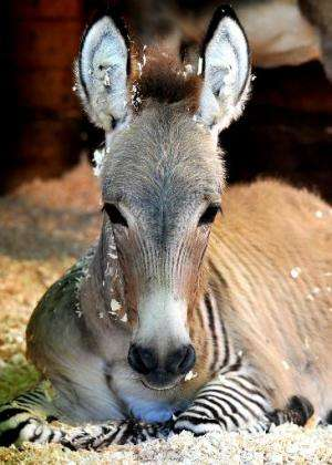 Ippo, a three month old zonkey, a cross between a zebra and a donkey, lies in its enclosure at an animal shelter in Florence, on