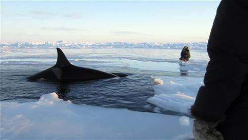 Locals say shifting sea ice frees trapped whales