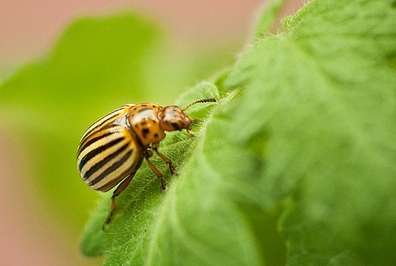 Microbes help beetles defeat plant defenses