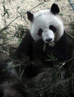Newborn pandas split time between mom, zoo nursery