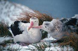[news] Saving the best for last – wandering albatrosses' last push for successful parenting