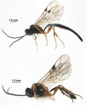 Peculiar parasitoid wasp found on rare sawfly developing in ferns