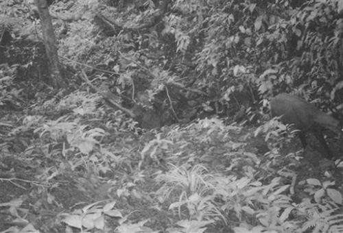 Photo in Vietnam shows mammal unseen for 15 years