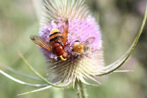 Pollinators easily enhanced by flowering agri-environment schemes