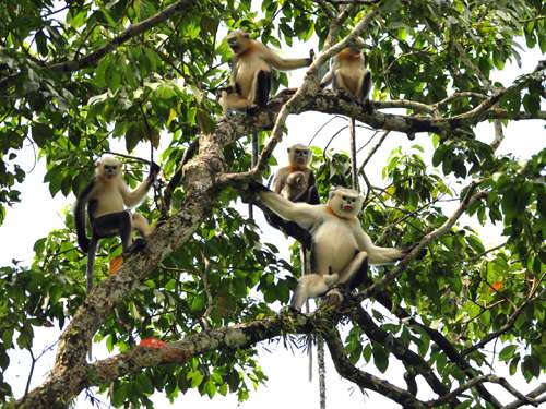 Rare reversal of decline in number of Tonkin snub-nosed monkeys