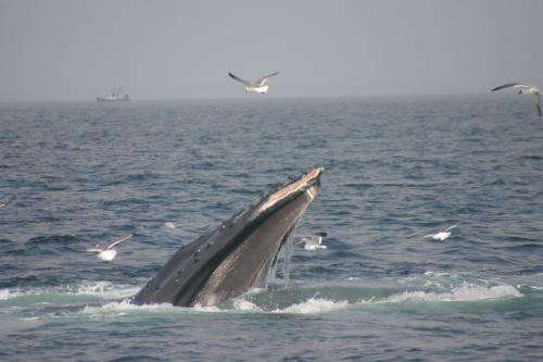 Research confirms bottom-feeding behavior of humpback whales