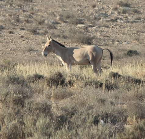 The secret lives of the wild asses of the Negev