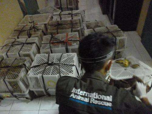 This photo, received from International Animal Rescue Indonesia on November 15, 2013, shows a government official checking on sh