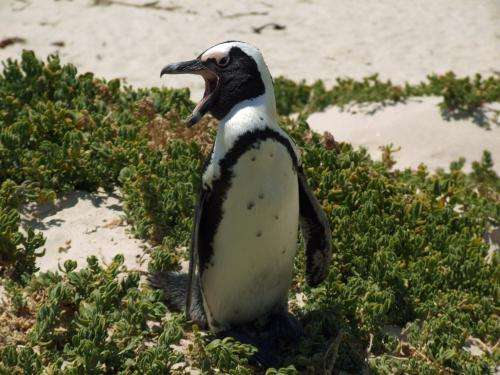 Uncovering Africa's oldest known penguins