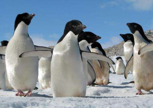 Undated handout photo shows Adelie penguins in Antarctica