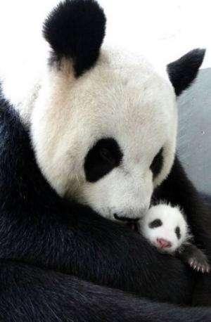 Undated photo released by the Taipei City Zoo on August 13, 2013 shows giant panda Yuan Yuan hugging her baby Yuan Zai