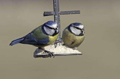 Study reveals uncertainty over the benefits of feeding birds in winter