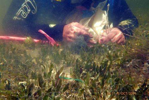 New technique helps biologists save the world's threatened seagrass meadows