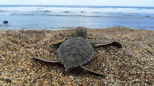 Researchers use circulation models, genetics to track 'lost years' of turtles